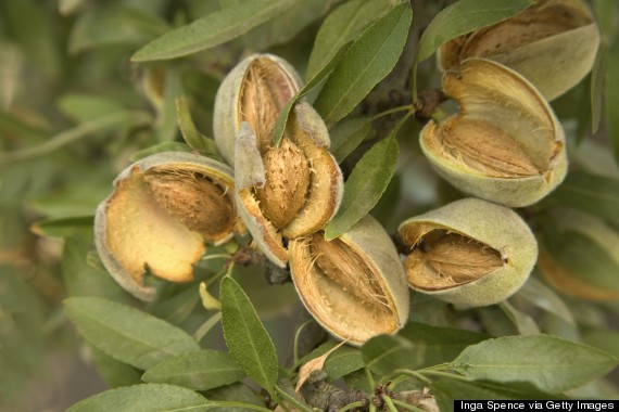 o-almond-tree-570