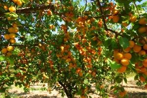 apricot-4