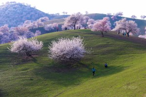 blooming-apricot-valley-yili-china-4