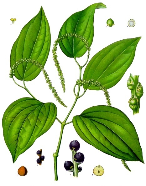 Piper_nigrum_-_Köhler–s_Medizinal-Pflanzen-107
